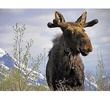 Young Bull in the Tetons Photographic Print