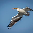American White Pelican In Flight by Thomas Young