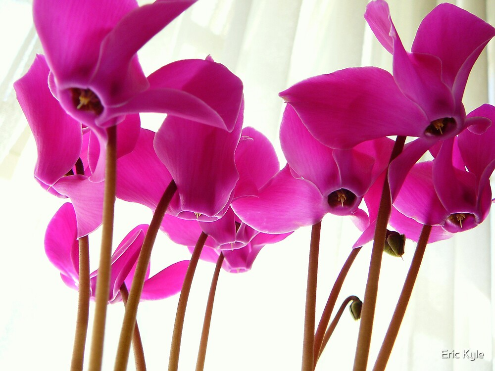 CYCLAMEN by Eric Kyle