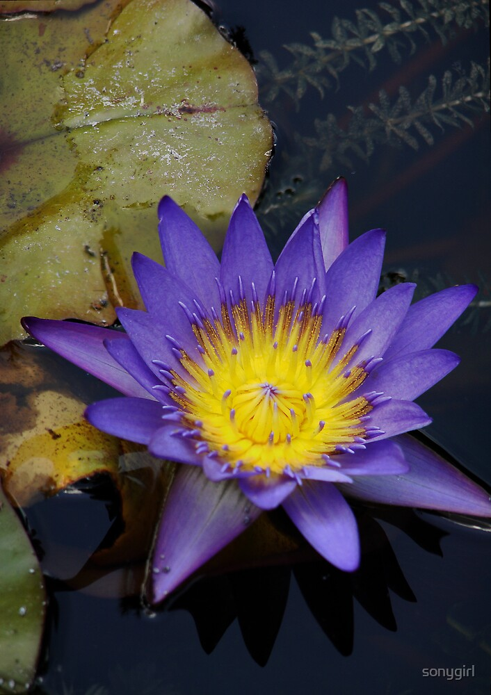 lotus by sonygirl