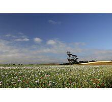 Poppy Fields - Tasmania Photographic Print