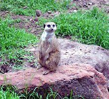 Meerkat by dwilk