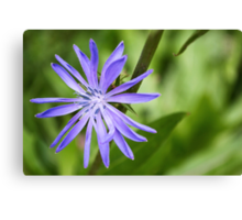 Single Purple Chicory Flower Canvas Print