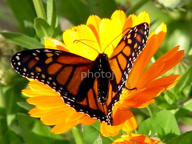 photoj  Monarch Butterfly macro by photoj