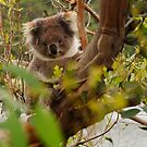 Koala  by Joe  Mortelliti