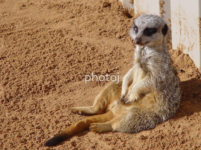 photoj  meerkat cat by photoj