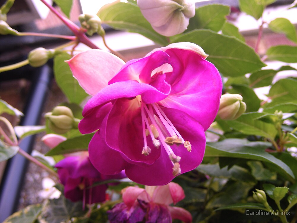 Fuscia by CarolineMannix