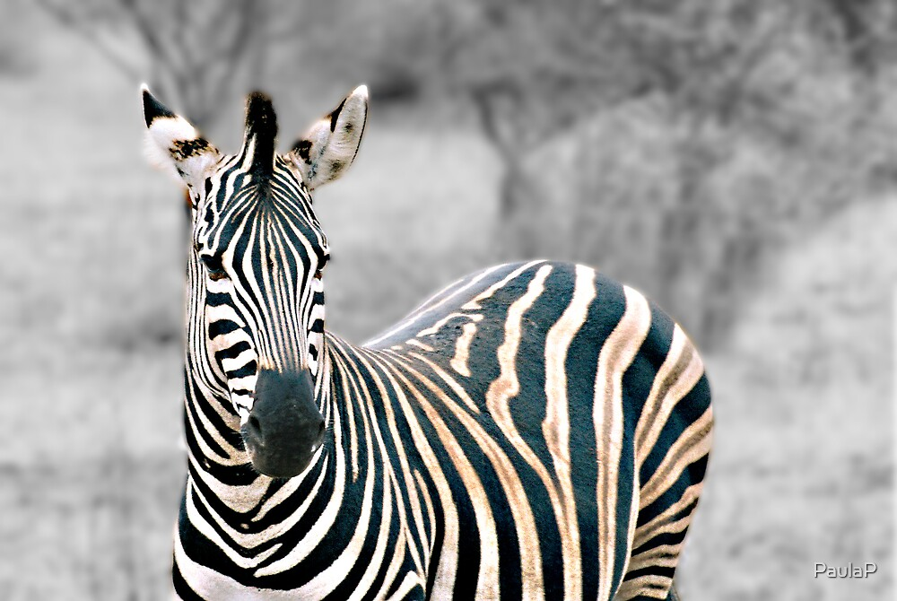 Zebra by PaulaP
