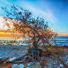 Gnarled tree on pebble beach at dawn by Ralph Goldsmith
