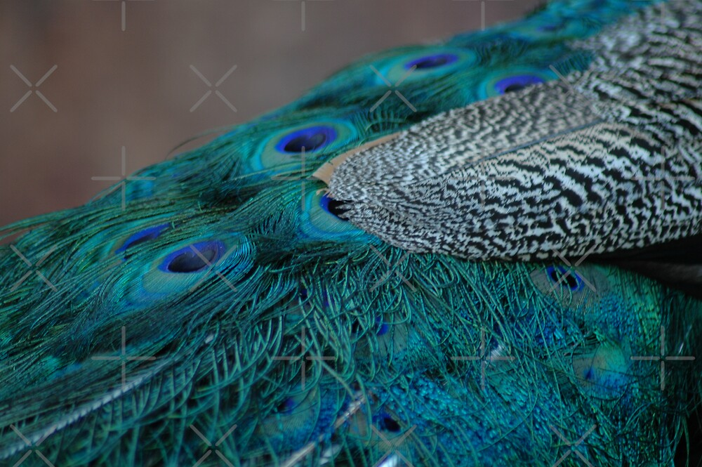 Colors Of A Peacock by Holly Werner