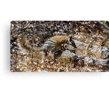 The Australian Numbat number two Canvas Print