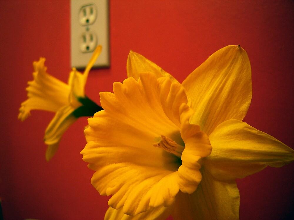Daffodils by haagenjerrys
