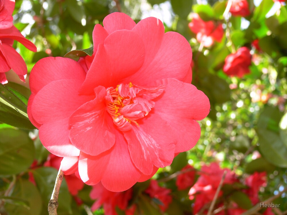 Red Camellia  by Heabar