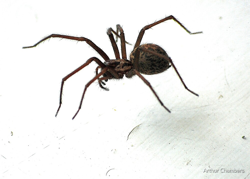 house spider by Arthur Chambers