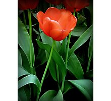 That one tulip Photographic Print