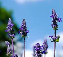 Purple and Blue by Jeffrey Sampson