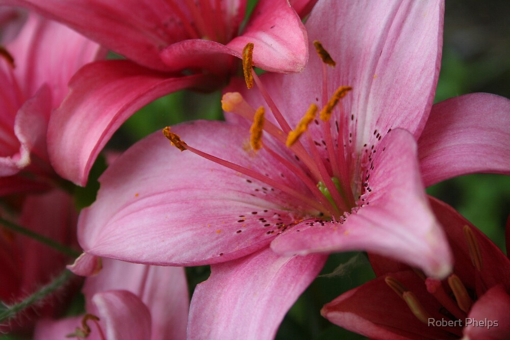 Pink Lily by Robert Phelps