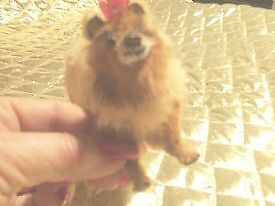 miniature pomeranian creation by francelle by francelle  huffman