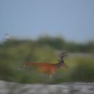 Cervidae | Young Stag - Fire Island, New York  by © Sophie W. Smith