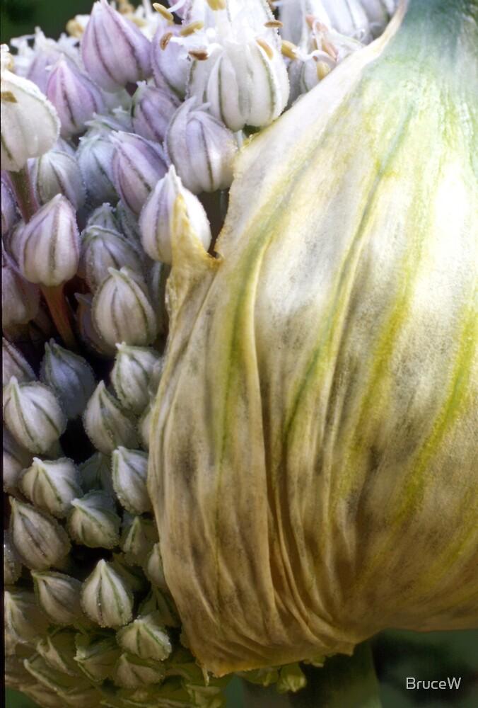 Garlic flower by BruceW