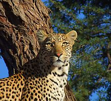 Alert Leopard by Mark Lindsay