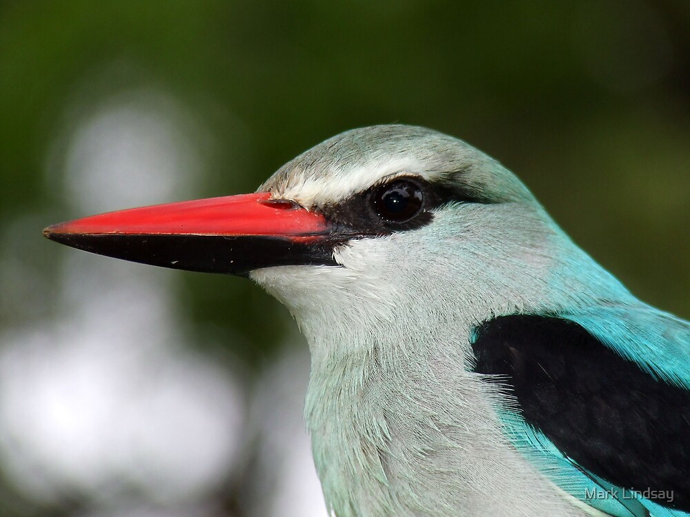 Woodland kingfisher  by Mark Lindsay