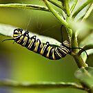 Monarch caterpillar by PhotosByHealy