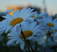 Flowers in Sunlight by taruni85