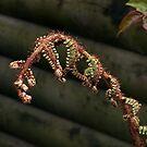 A new fern is born......! by Roy  Massicks