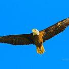 Eagle Soar by Deborah  Benoit