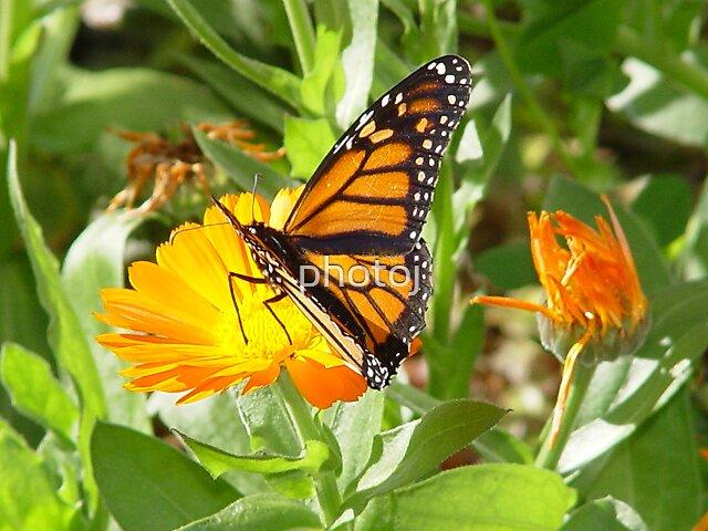 photoj  butterfly by photoj