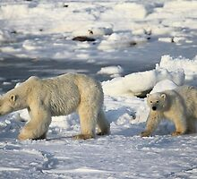 Polar Bear & Cub Walking on the Tundra, Churchill, Canada by Carole-Anne
