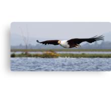 Africa Fish Eagle Swoops, Lake Naivasha, Kenya  Canvas Print