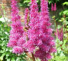 Pink Flowers in The Walled Garden, Heligan, Cornwall by BlueMoonRose
