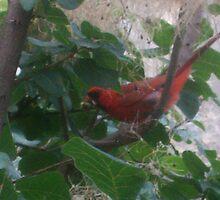 Cardinal by fluterific00