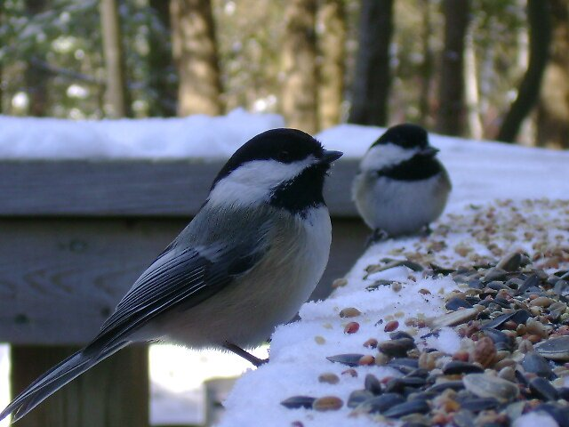 More chickadees by Robert Lake