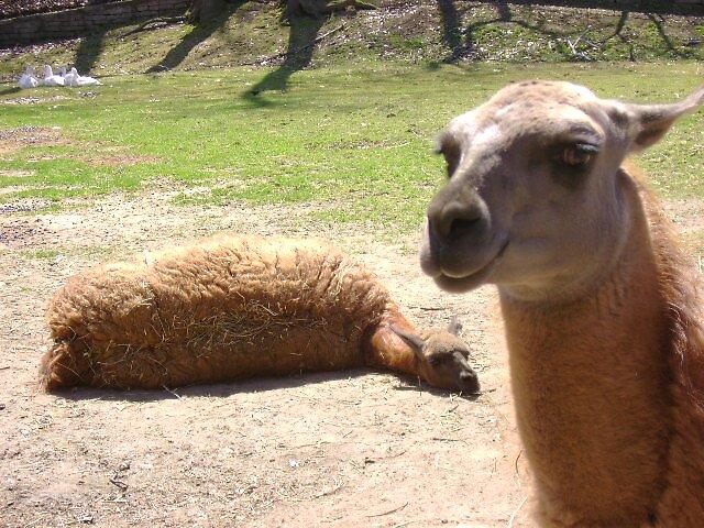 Lama's by Robert Lake