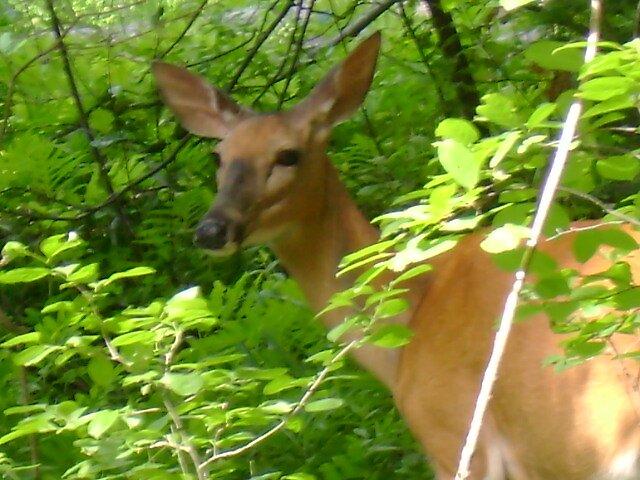 Bon Echo deer by Robert Lake