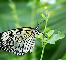 White Butterfly by Dawn Crouse