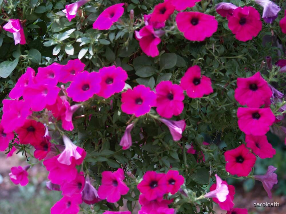 Shocking pink  petunias by carolcath