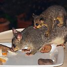 Common Brushtail Possum (Trichosurus vulpecula) by Geoffrey Higges