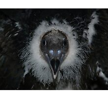 Baby Turkey Vulture, 6 weeks old Photographic Print