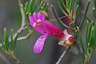 Magneta Emu Bush flower by Ian Berry