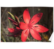 Red River Lily (Hesperantha coccinea) Poster