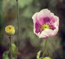 Opium Poppy by Elaine Teague