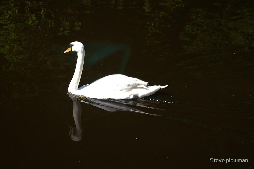 Swan by Steve plowman