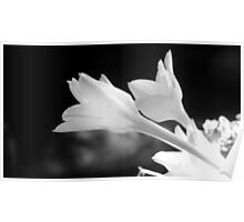 TEXAS RAIN LILIES IN BLACK AND WHITE Poster