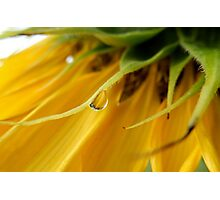 SINGLE RAIN DROP ON A SUNFLOWER Photographic Print