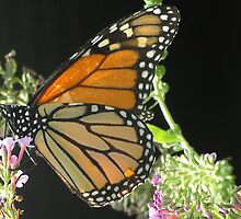 Beautiful Buttefly by Beverly Gallow
