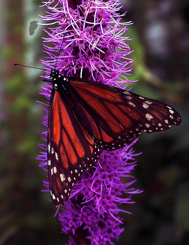 Monarch Butterlfy by tknobel